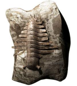 Anomalocaris Fossil